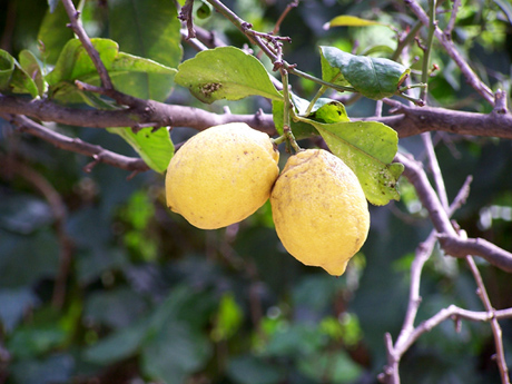 Risposta di chiedi all 39 esperto for Malattie del limone